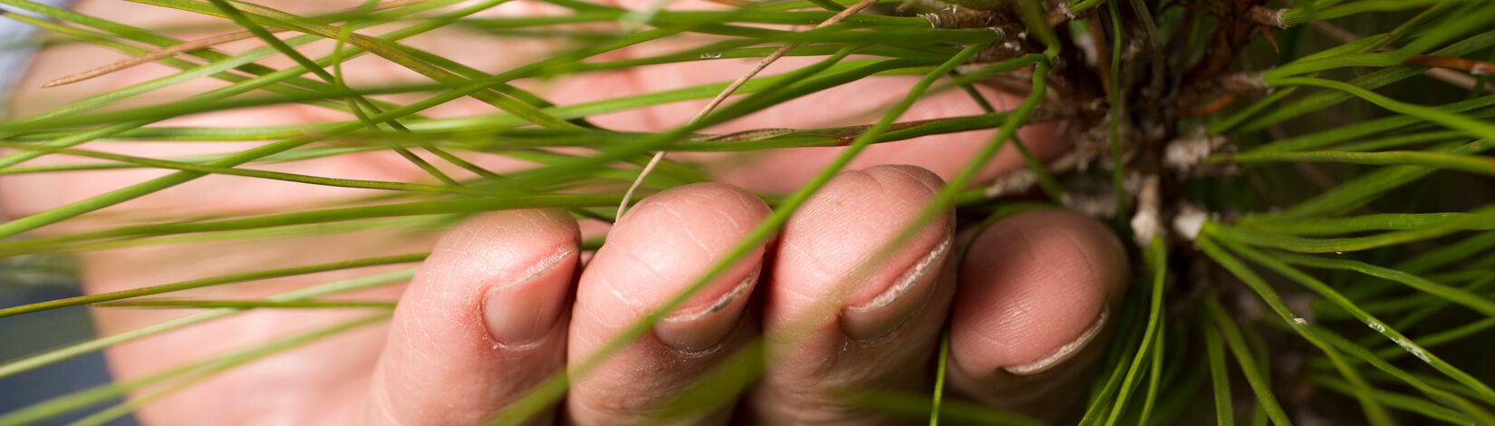hand touching pine needles