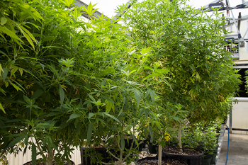 industrial hemp plants in greenhouse