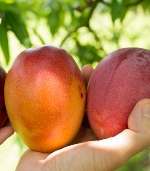 close up of hands holding three ripe mangoes in the orchard
