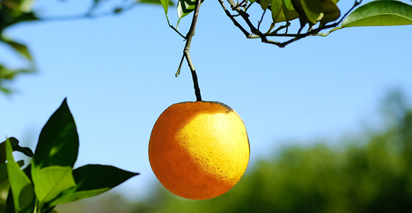 Picture of a single orange hanging from  a tree