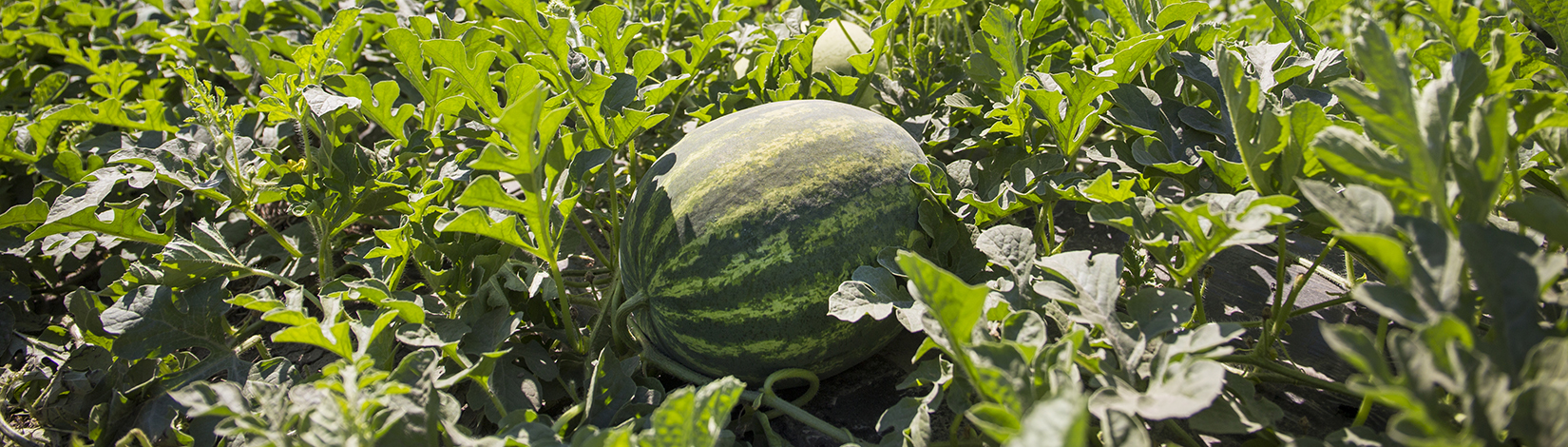 picture of a watermelon in a field